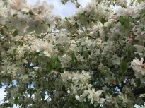Image: White Crabapple in bloom