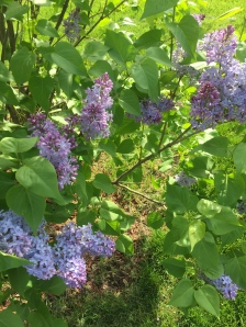 Image: Lilacs in bloom